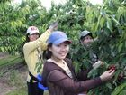 GREAT WORKERS: Fruit pickers (from left) Jin, Kaylee and May pluck fresh fruit at Cherry Park and make up some of the large international workforce on the Granite Belt during the picking season.