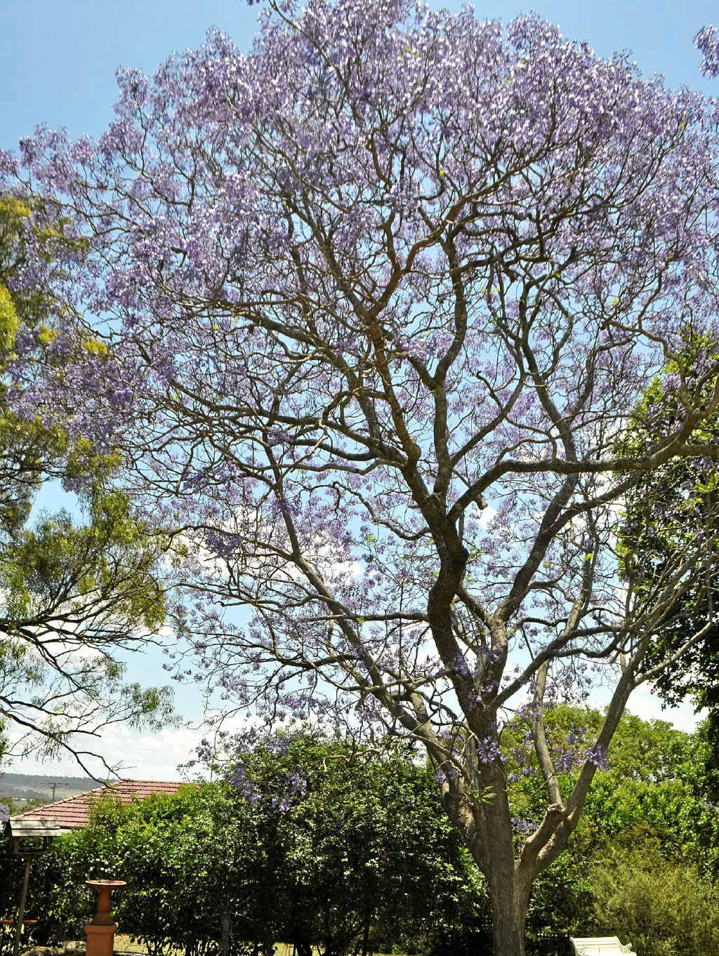 See the thriving jacarandas at Deconlay.