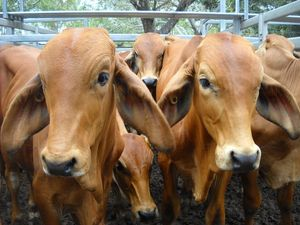 $2m assistance package announced for cattle producers