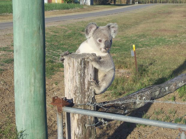 Koala found climbing on fences and up power poles.