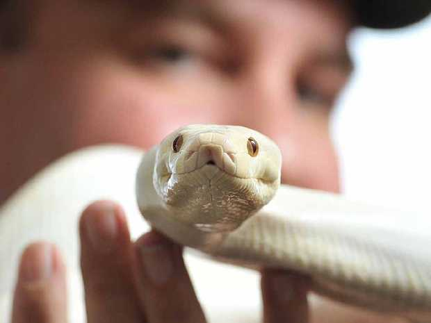ABOUT EDUCATION: Scales and Tails publisher Troy Kuligowski handles an albino olive python.