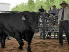 Success for first timers at Ascot bull sale