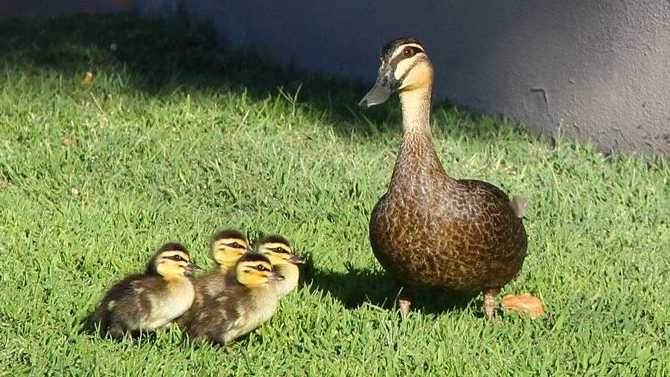 Ballina Shire Council staff have found 25 dead ducks around the North Lakes Estate.