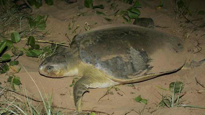 Flatback turtle coming in to lay her eggs.