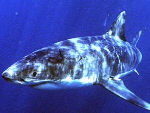 Great Whites spotted and tagged at four North Coast beaches