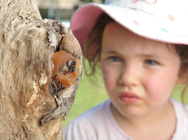 Phoebe Wessling from C & K Kindy in Yamanto checks out the native bee hive that has been introduced as part of their eco garden.