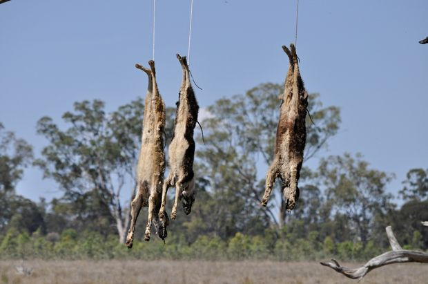 The three dogs hung around five metres from the fenceline at a Ducklo property.