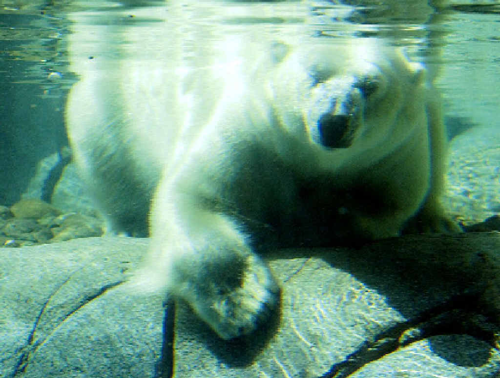 Polar Bears are one of the main animal attractions at Sea World.