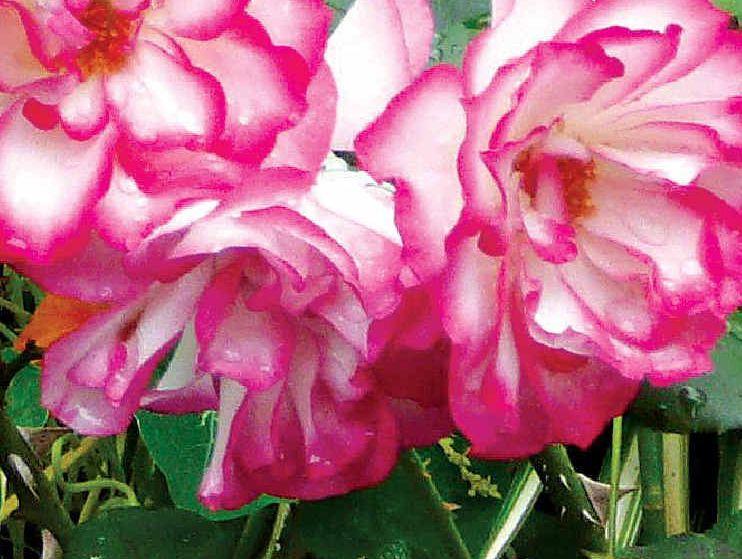 This lovely floribunda rose proves that Black Marvel works.