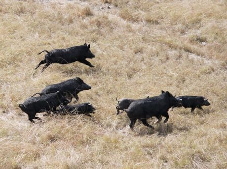 Controlling wild pigs is just one of many on-farm biosecurity practises Central Queensland farmers are undertaking. Photo Daniel Burdon / Rural Weekly RRW070611dpig1