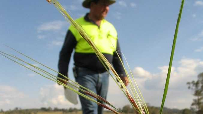 A Needlegrass Knockout day will be held at Clifton on December 2 and aims to raise awareness, educate the local community on how to identify and destroy this damaging weed, and reduce the numbers of Chilean Needle Grass infestations in and around Clifton.