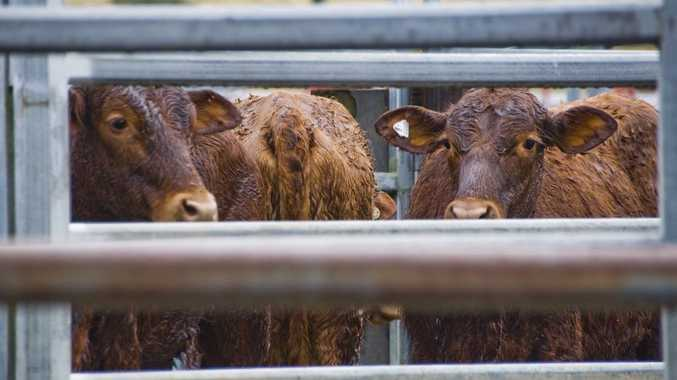Cattle wait in the rain at the Lismore Saleyard.
