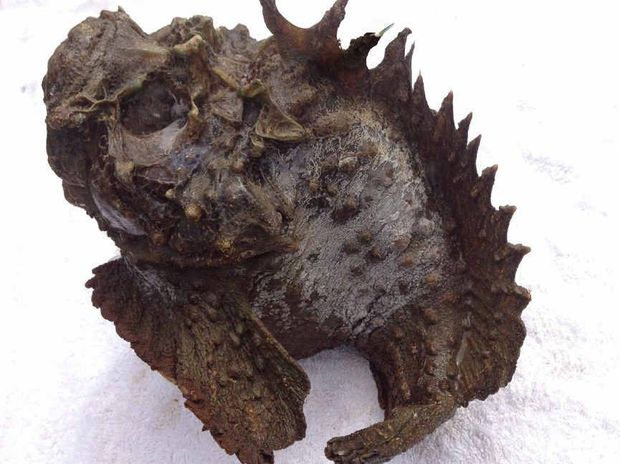 This 35cm Tin Can Inlet stonefish will soon be on display at Barnacles Cafe at Norman Point.
