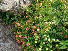 A Calibrachoa mini-double makes a perfect groundcover.