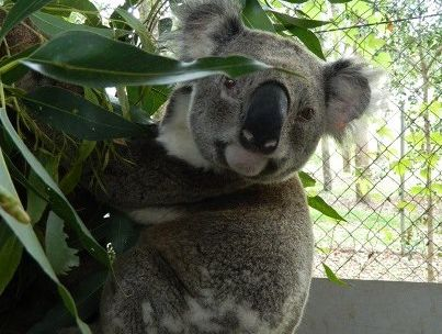 Dr Harry, the third koala Friends of the Koala have had to euthenize in a week.