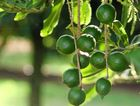 The Bundaberg macadamia crop is forecast to be down on expectations.