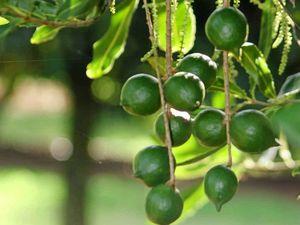 Dutch Disease hurts macadamia industry