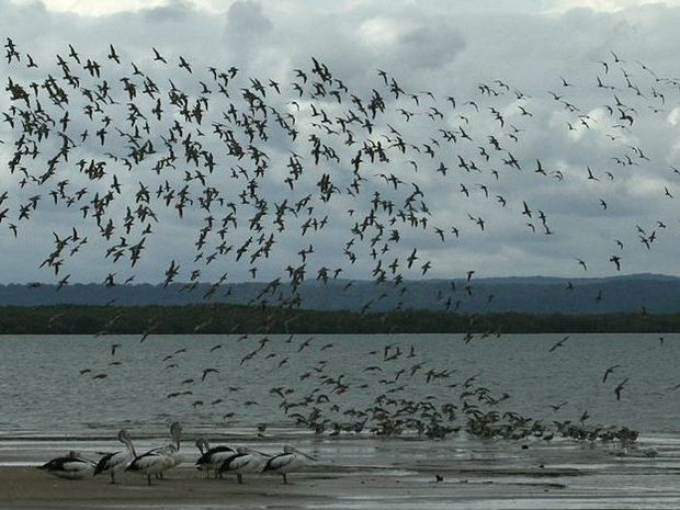 Migratory shorebirds completing their annual migration to the Great Sandy Strait Ramsar Wetland. A new project aims to develop a community monitoring program to provide an assessment of wader habitat conditions.