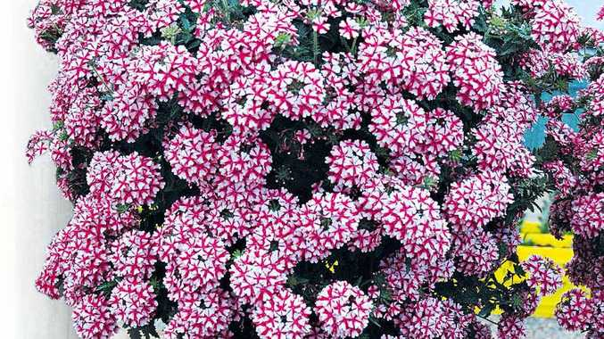 The aptly named Candy Cane verbena lanai.