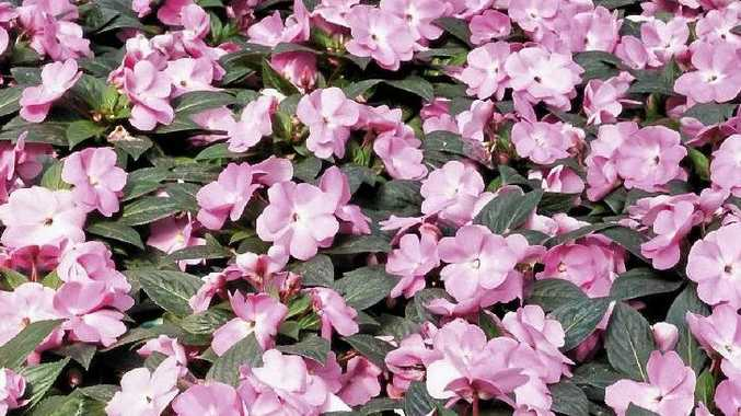 Pink new guinea impatiens.