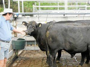 Grafton fat cattle market