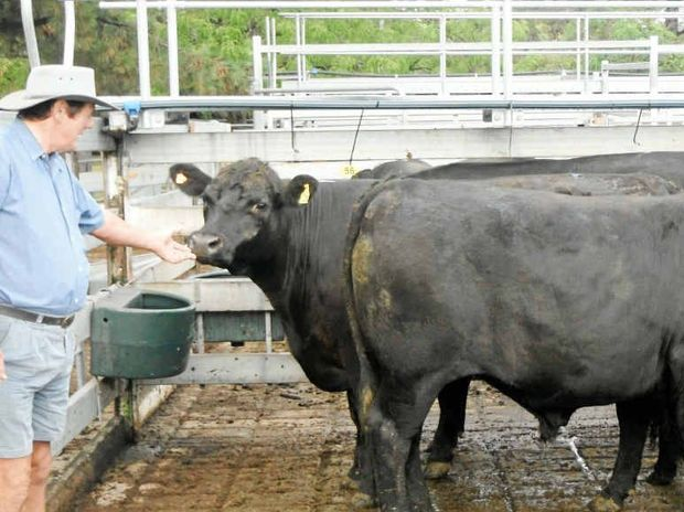 VENDOR OF THE WEEK: Billy Cox of Carr's Creek was selected as the Vendor of the Week at the Grafton Prime Cattle sale held on Tuesday. The vendor sold a total of six angus bullocks and steers with the best two bullocks selling for 165.2c/kg at an average weight of 637.5kg, realising $1053.15/head. Pictured with his cattle is Billy Cox. The cattle were sold through Ray Donovan Stock and Station Agents.*DON'T forget this Tuesday is the annual Vendor of the Year Awards. Patrons of the Grafton Saleyards and other interested persons are invited to attend the awards. The function will be held at the Grafton Regional Saleyards on Tuesday, December 11 at 6.30am with a barbecue breakfast. The usual cattle sale will commence immediately after the presentation of the awards.
