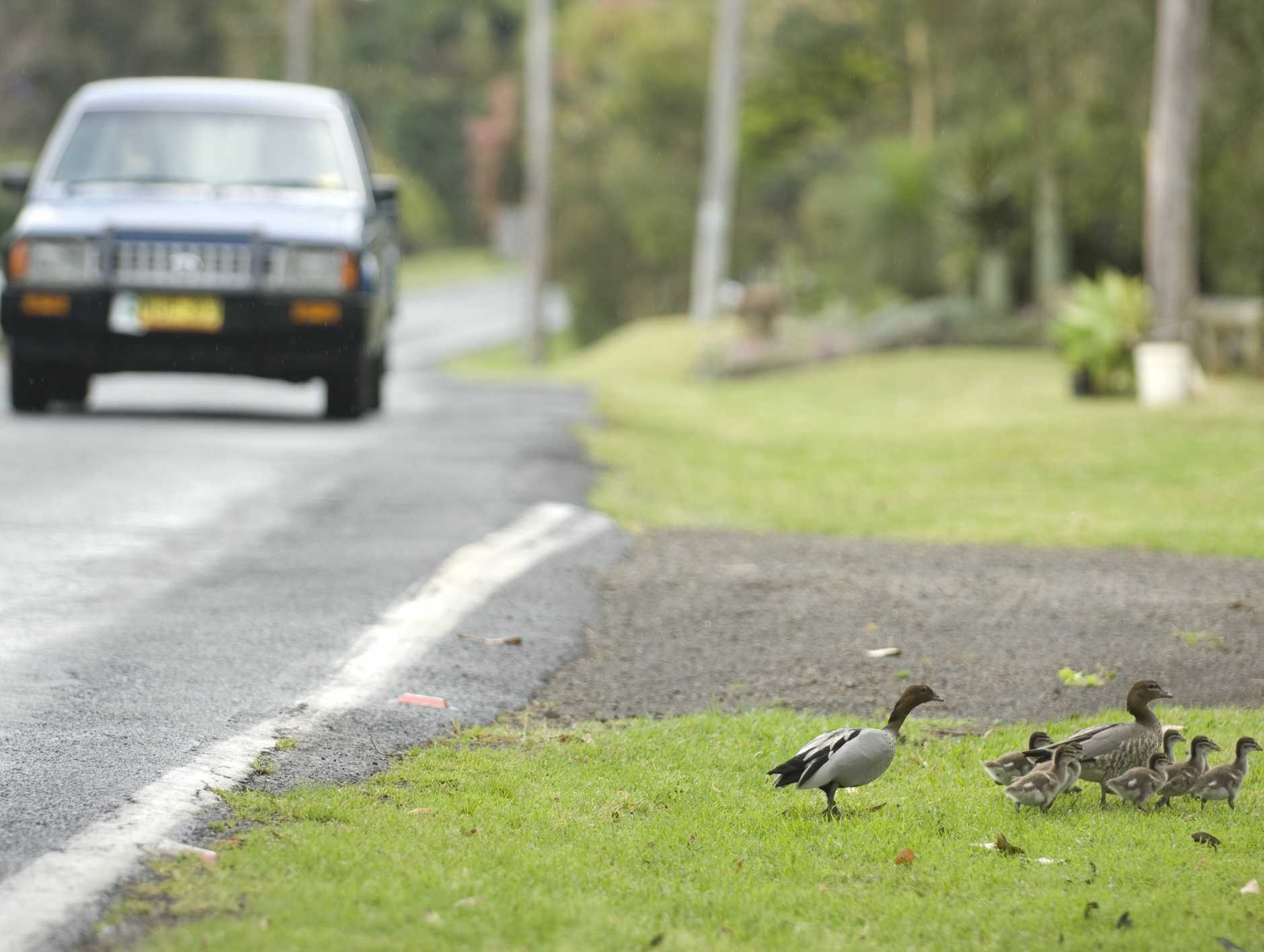 Ducks may have more than crossing roads and passing cars to worry about from next month.