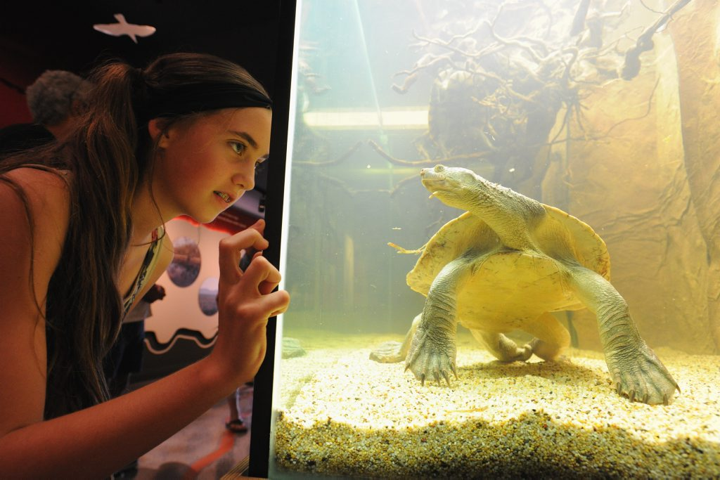 Open day at the Fraser Coast Cultural Centre - Tessa Grieves (12) from Maryborogh meets Travis the turtle for the first time in the Discovery Sphere.
