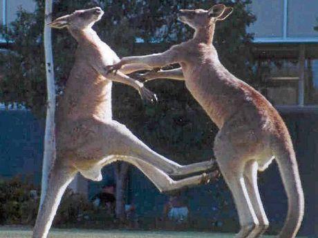 Kangaroos play rough at University of the Sunshine Coast