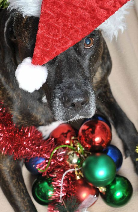 Shifter, the seven-year-old mastiff, is a patient at Silkstone vets. Pet experts are warning of the dangers of Christmas novelties such decorations, fatty foods and alcohol.