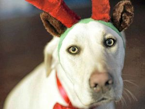 The festive season can overexcite the family pet