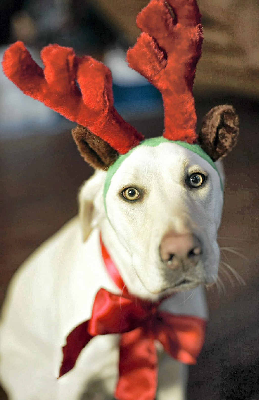 Some dogs hate loud noises (and being dressed up in costumes at Christmas).