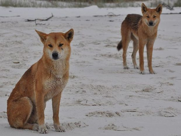 Fraser Island dingoes.