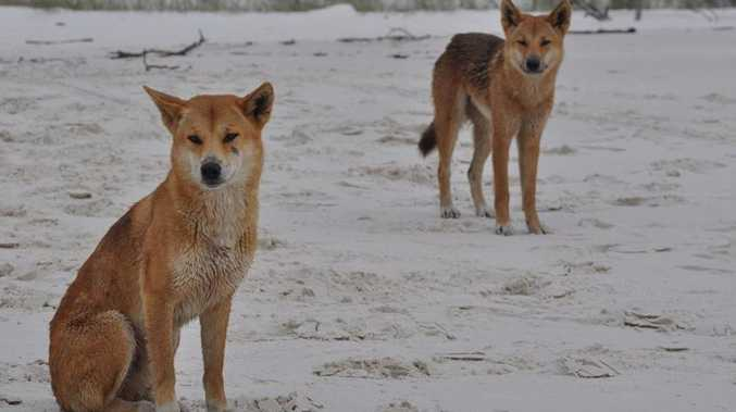 Fraser Island dingoes.