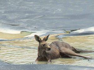 Kangaroo death highlights the danger of CSG ponds