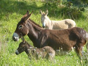 Local donkeys' ancestors may have carried Virgin Mary & Jesus