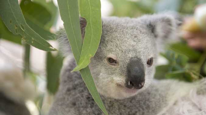 Changes to Steve Irwin Way could threaten 75 hectares of prime koala habitat.