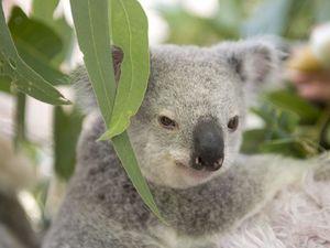 Fears Steve Irwin Way changes will destroy koala habitat