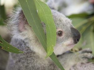 Green Armies restore habitat for koalas