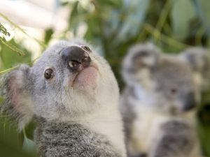 Hundreds of koalas killed in secret
