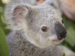 Koalas in spotlight