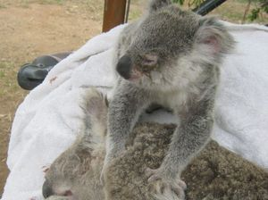 Rescue teams recover two dead and two live koalas in M'boro