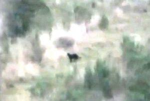 Video footage of a suspected large wild cat near Nimbin.