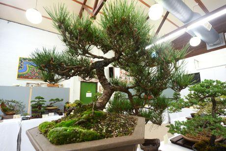 Get your bonsai fix at the Toowoomba Bonsai Group's annual bonsai show.