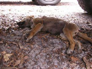 Dead dingo pups in car park distress Fraser Island tourists