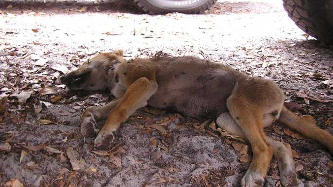 The death of two six-month-old dingo pups in the car park at Lake McKenzie on Fraser Island is being investigated.