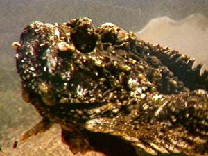 Stonefish may have caused man extreme agony at Coolum