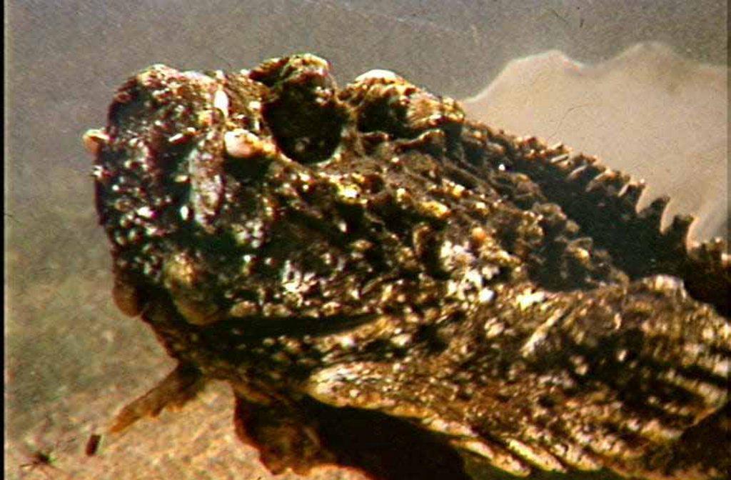 Stonefish Photo Contributed