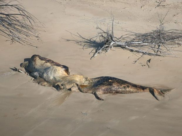 An adult sperm whale carcass washed up on Curtis island.