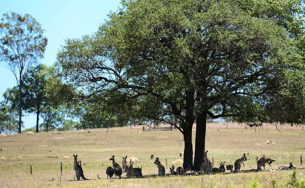 SIESTA HOUR: A mob of kangaroos huddles together in the shade of this tree to escape yesterday's heat at Esk.